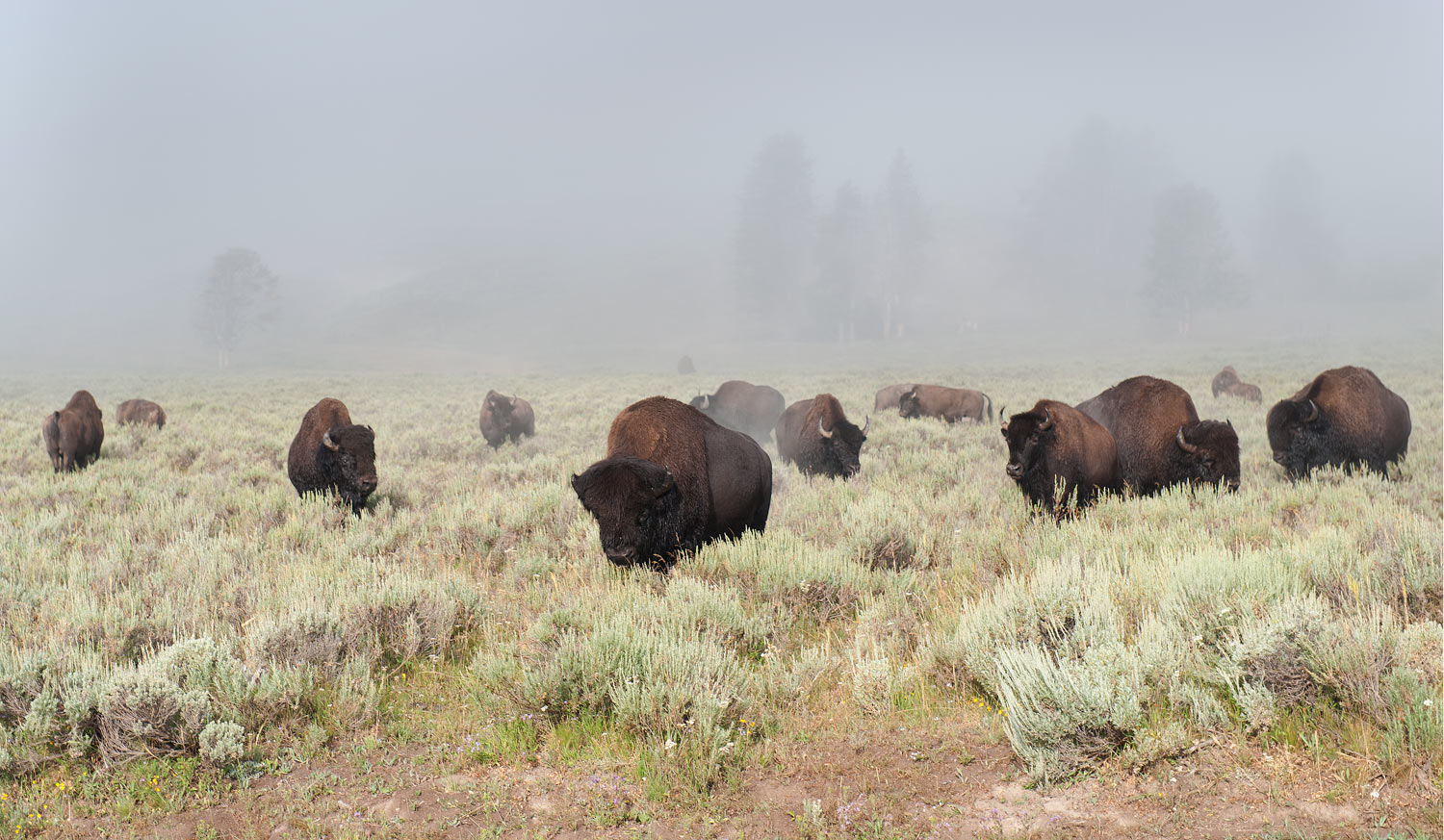 Bison grazing in early-morning fog, Hayden Valley, Yellowstone National Park