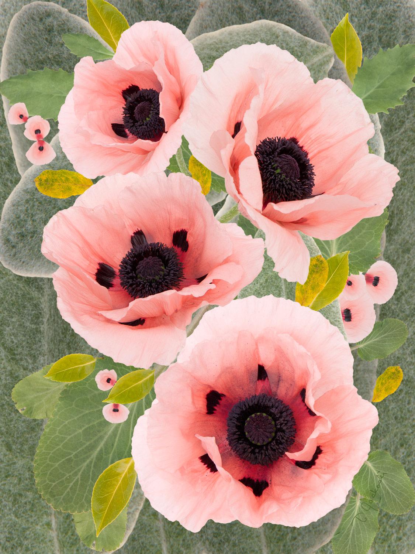The Pink Papavers Oriental