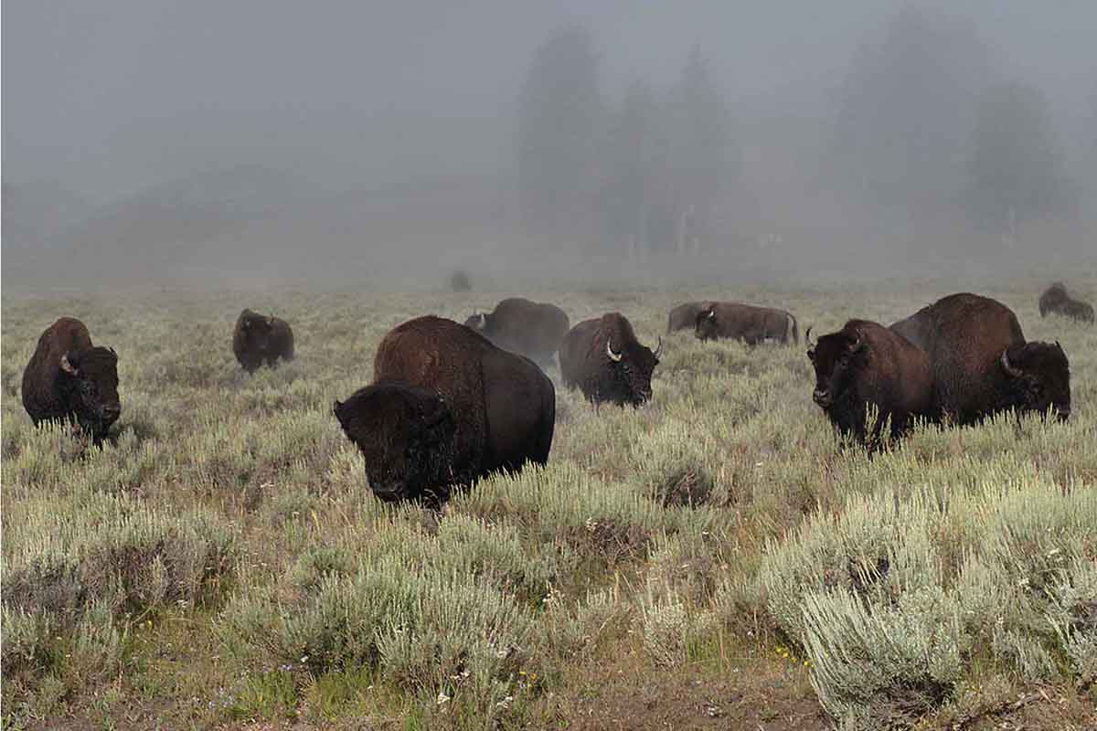 Misty A.M. Bison Herd, Yellowstone