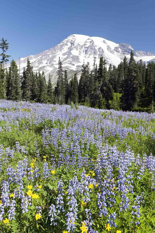 Lupine & Mt. Rainier