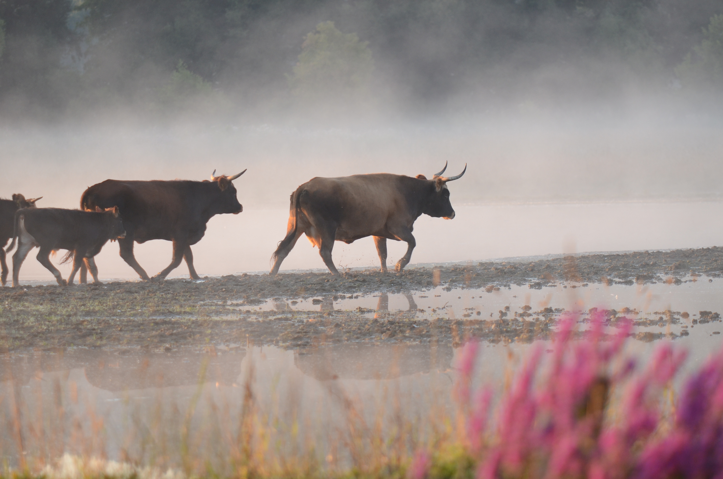 Cattle / Heckrind