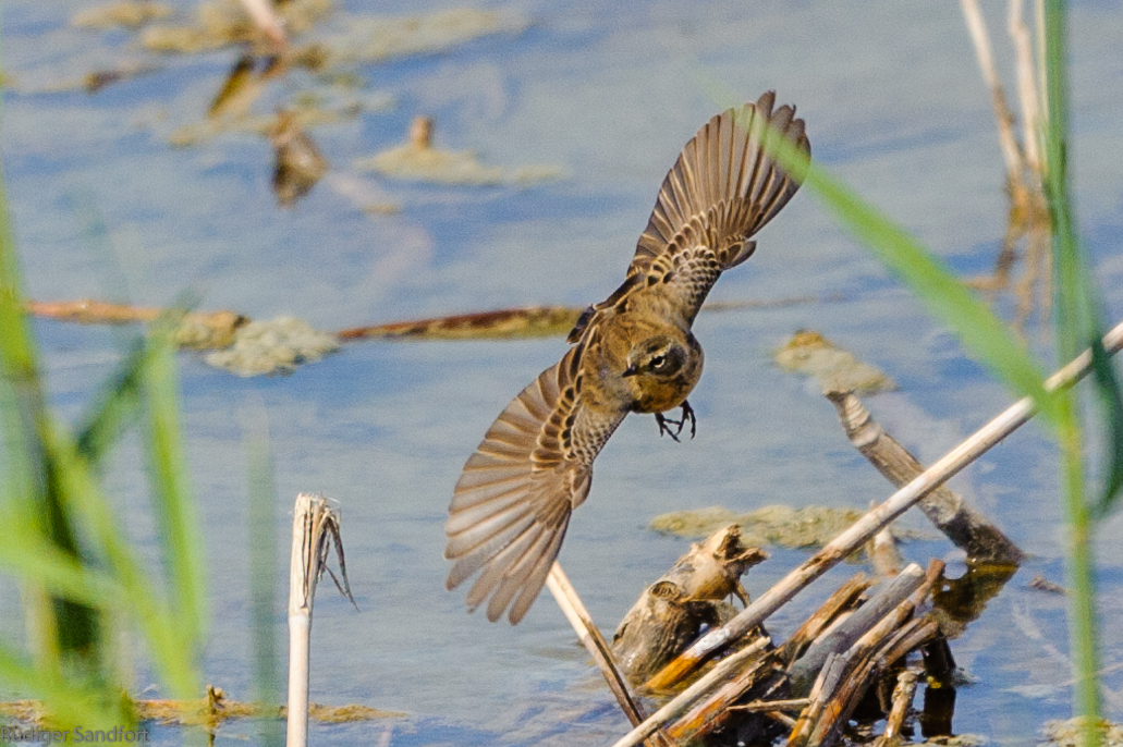 Red-throted Pipit / Rotkehlpieper