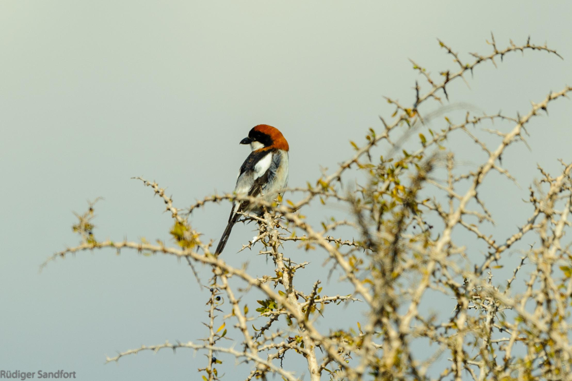 Woodchat Shrike / Rotkopfwürger