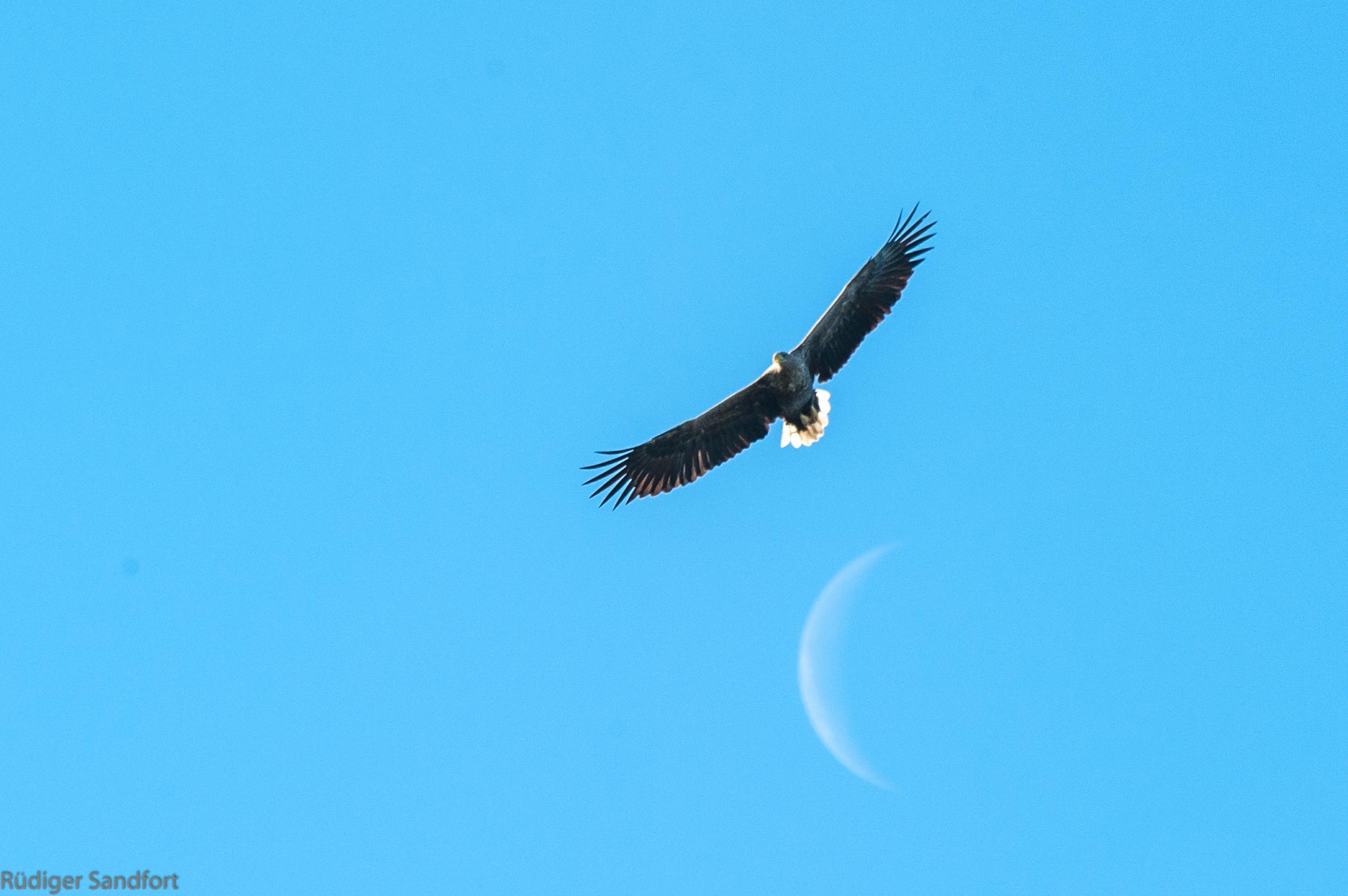 White - tailed Eagle / Seeadler