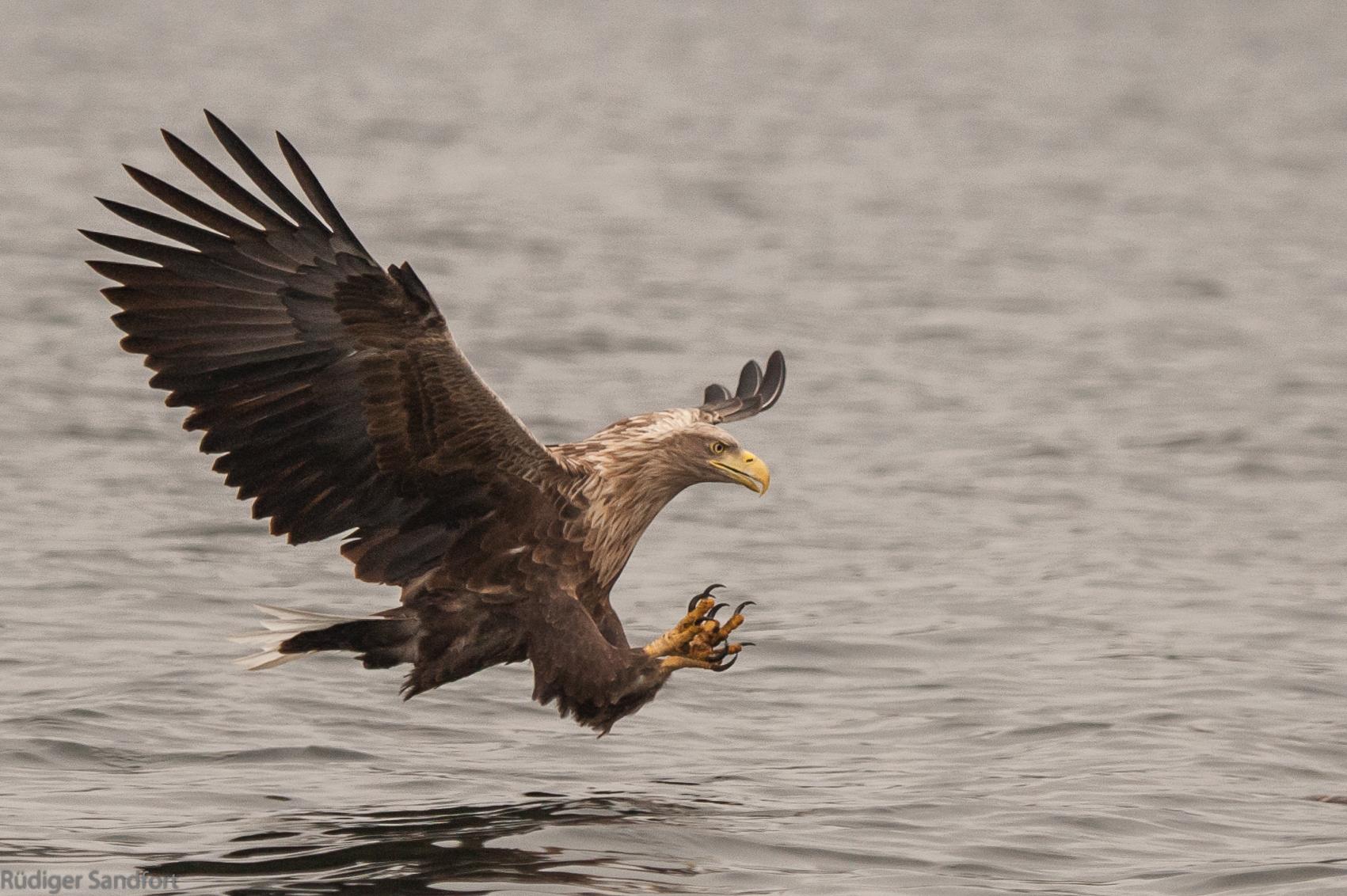 White- tailed Eagle / Seeadler