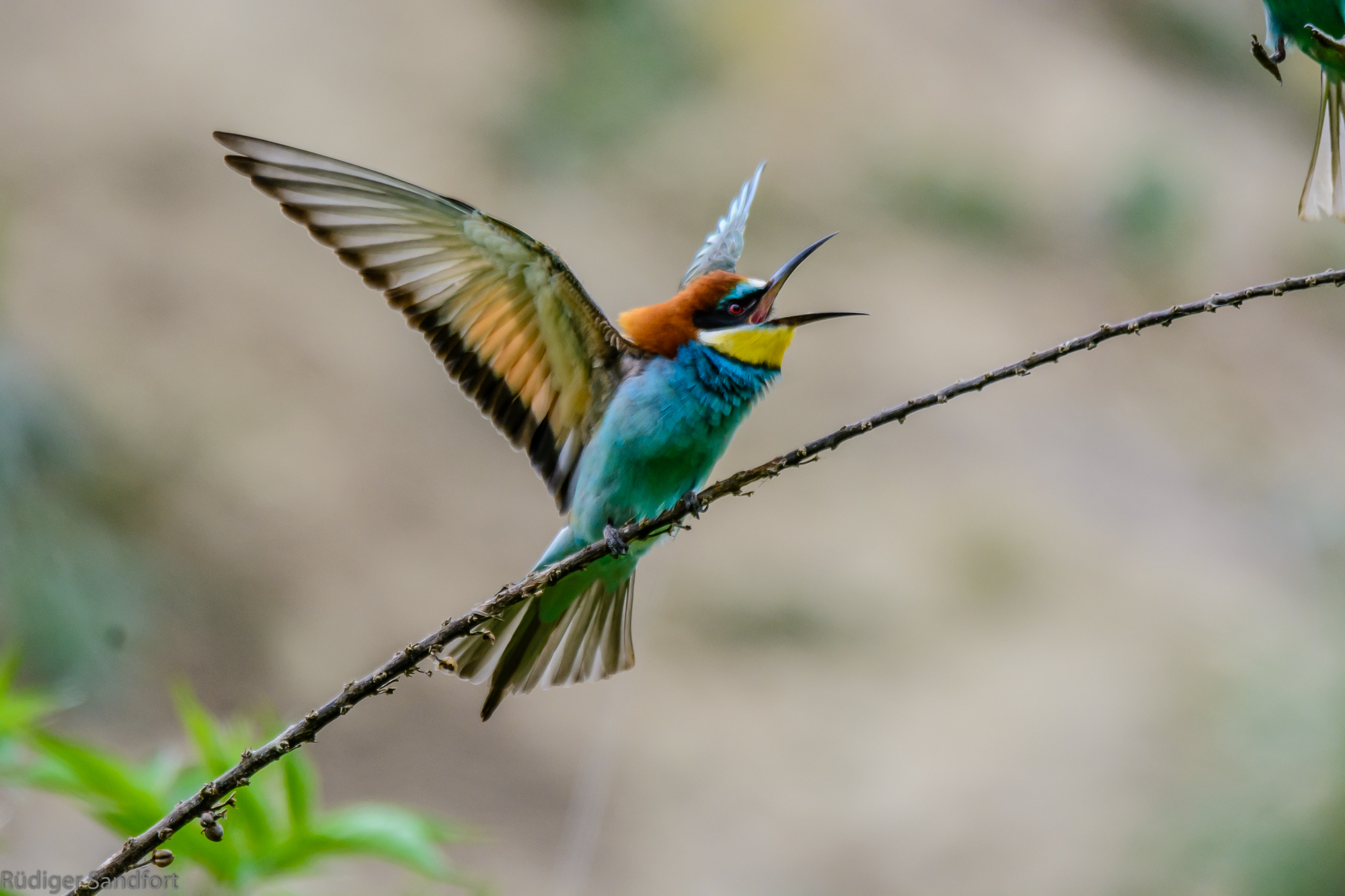European Bee-eater / Bienenfresser