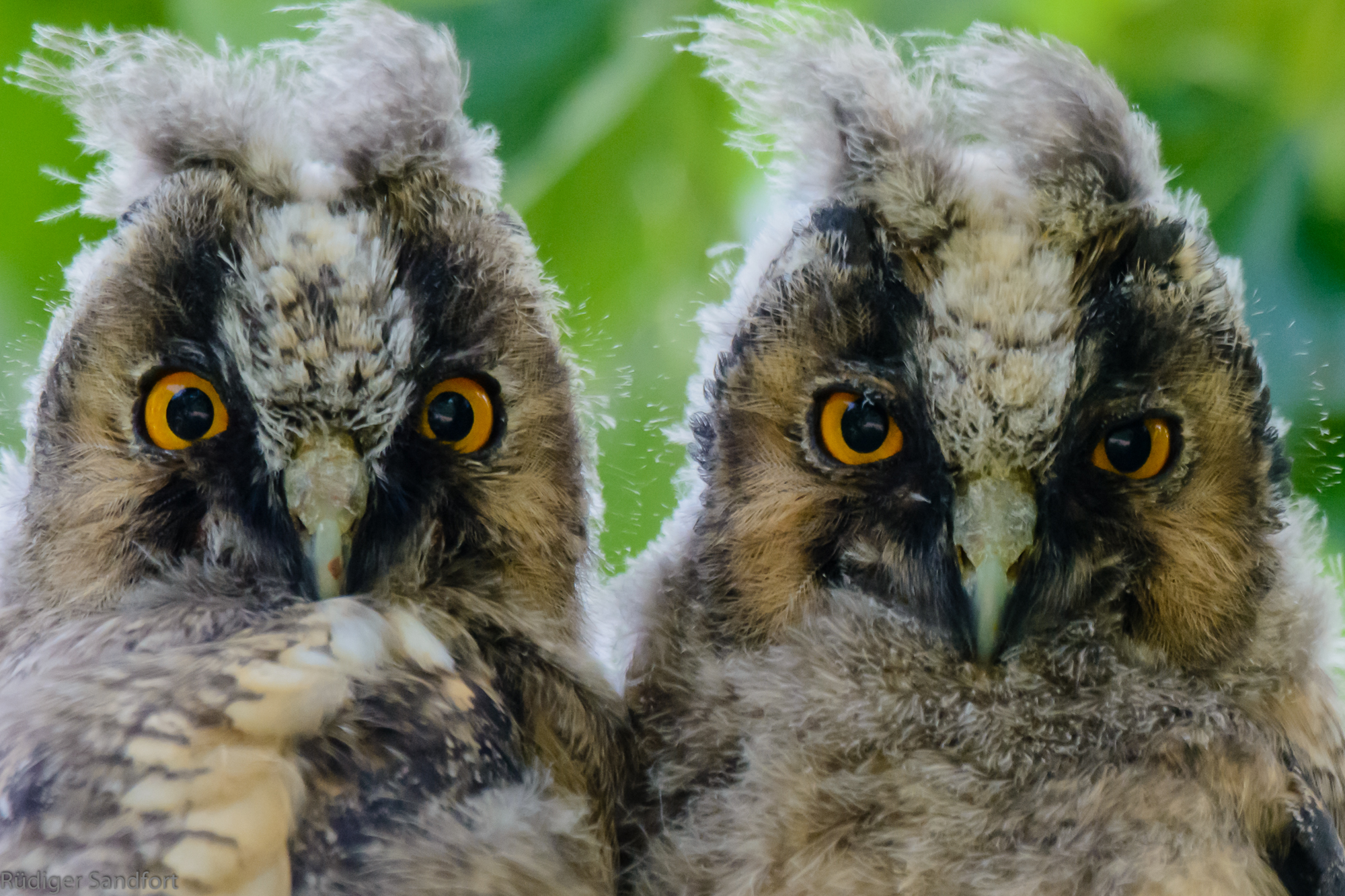 Long eared Owl / Waldohreule