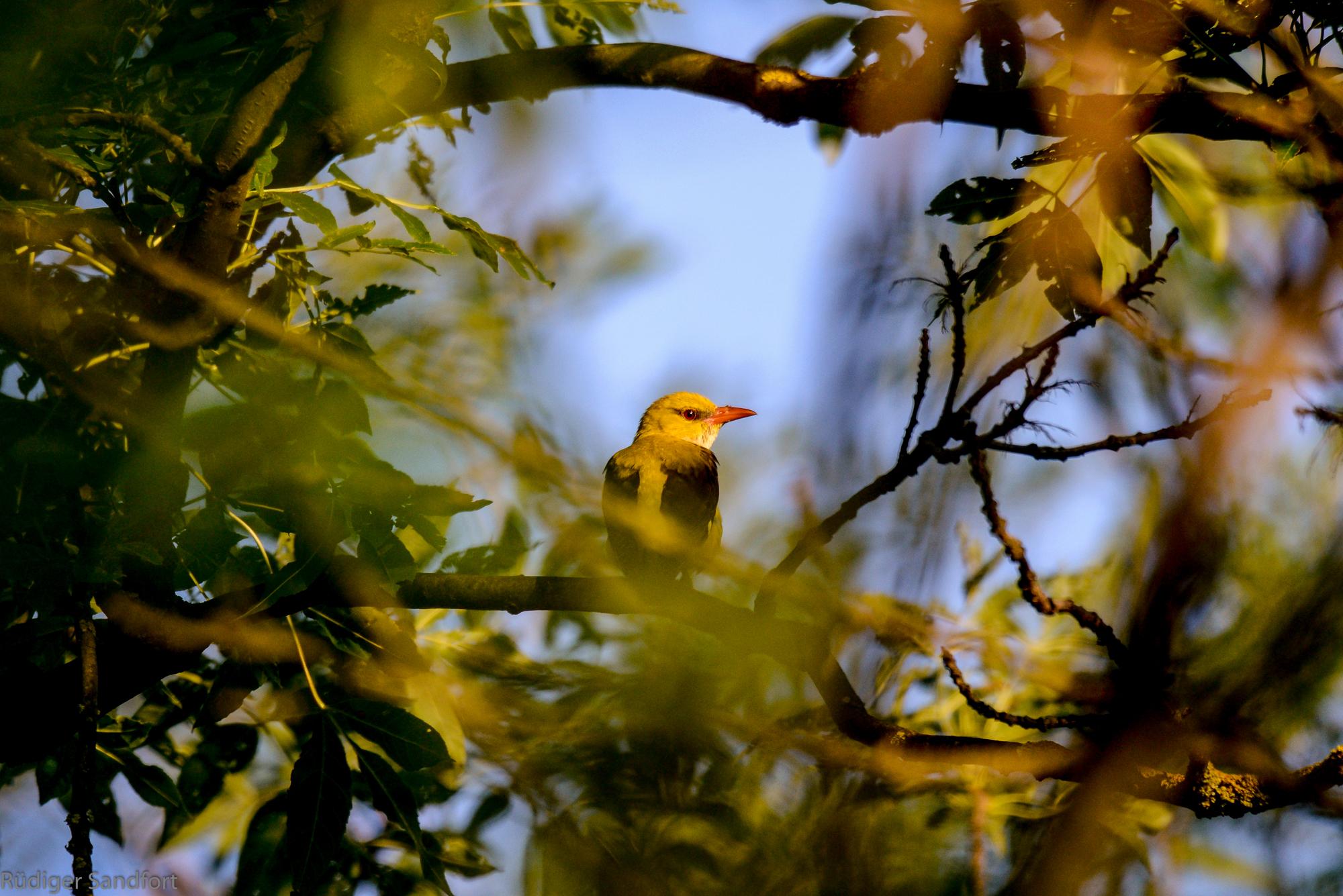 Eurasian Golden Oriole / Pirol