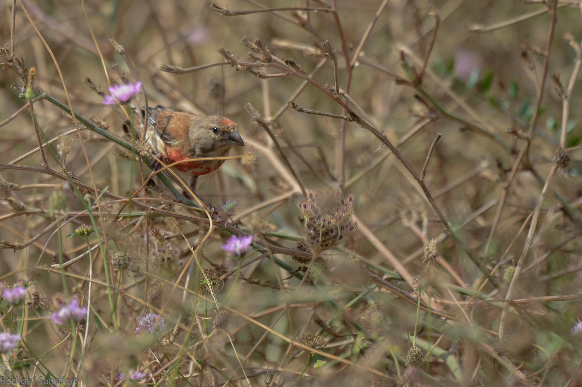 Common Linnet / Bluthänfling