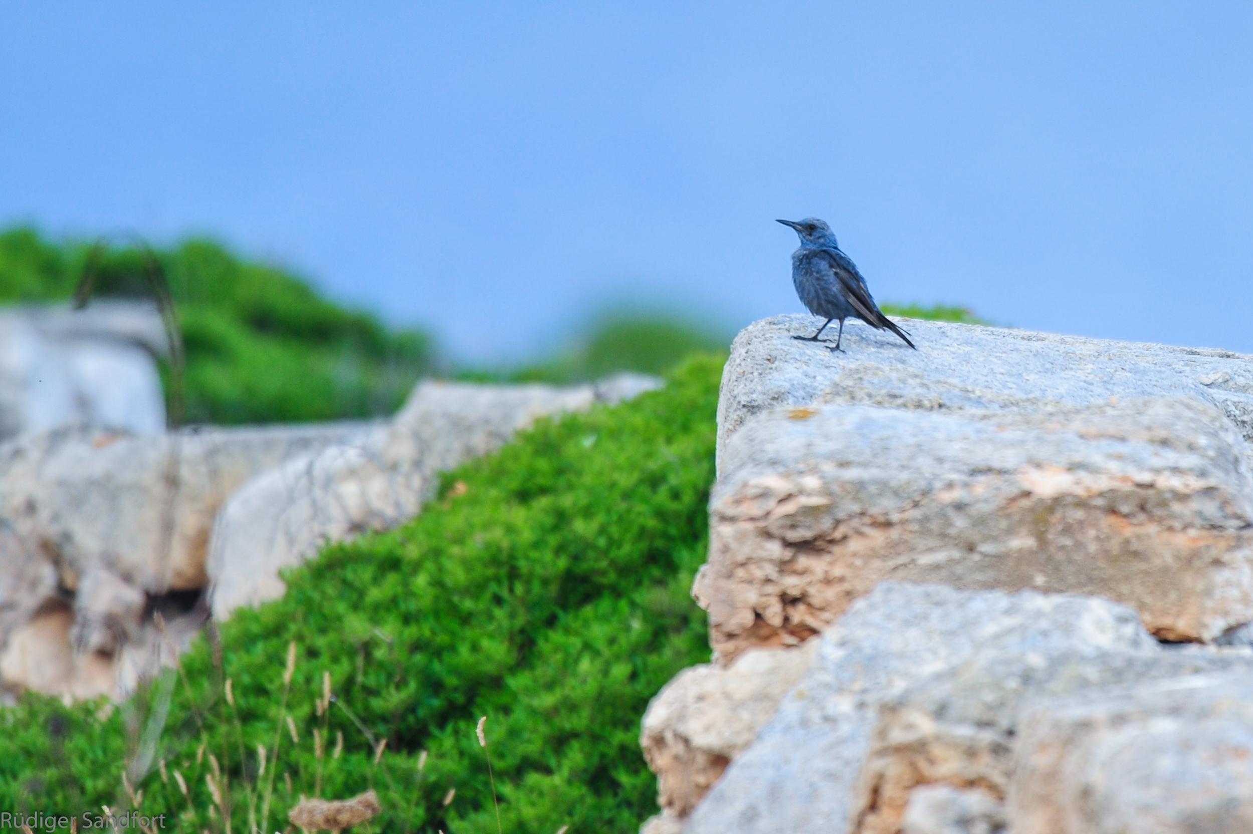 Blue Rock Thrush / Blaumerle