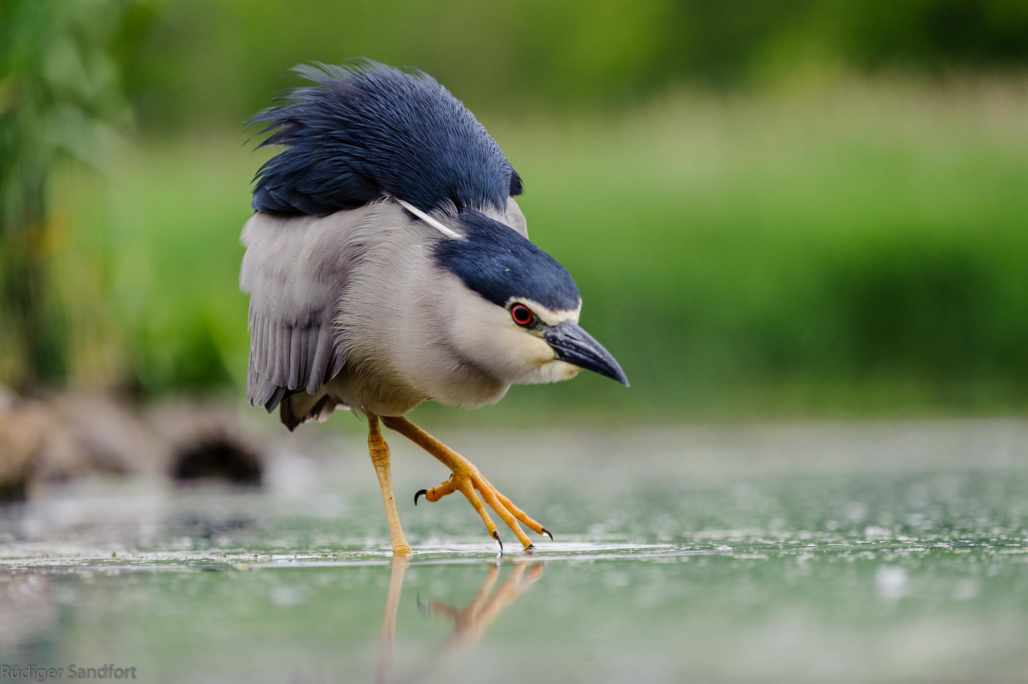 Black-crowned Night Heron / Nachtreiher