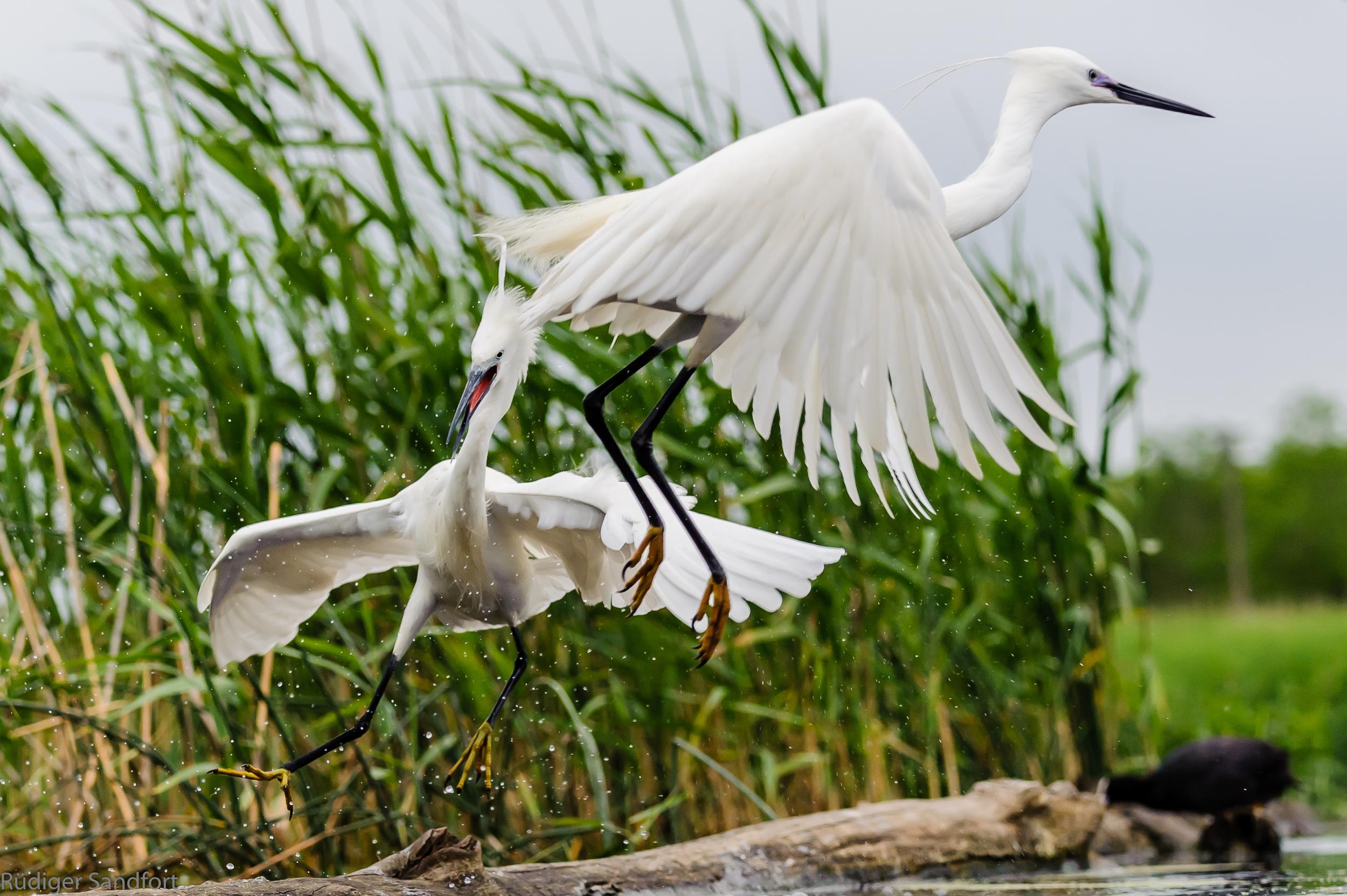 Great Egret / Silberreiher