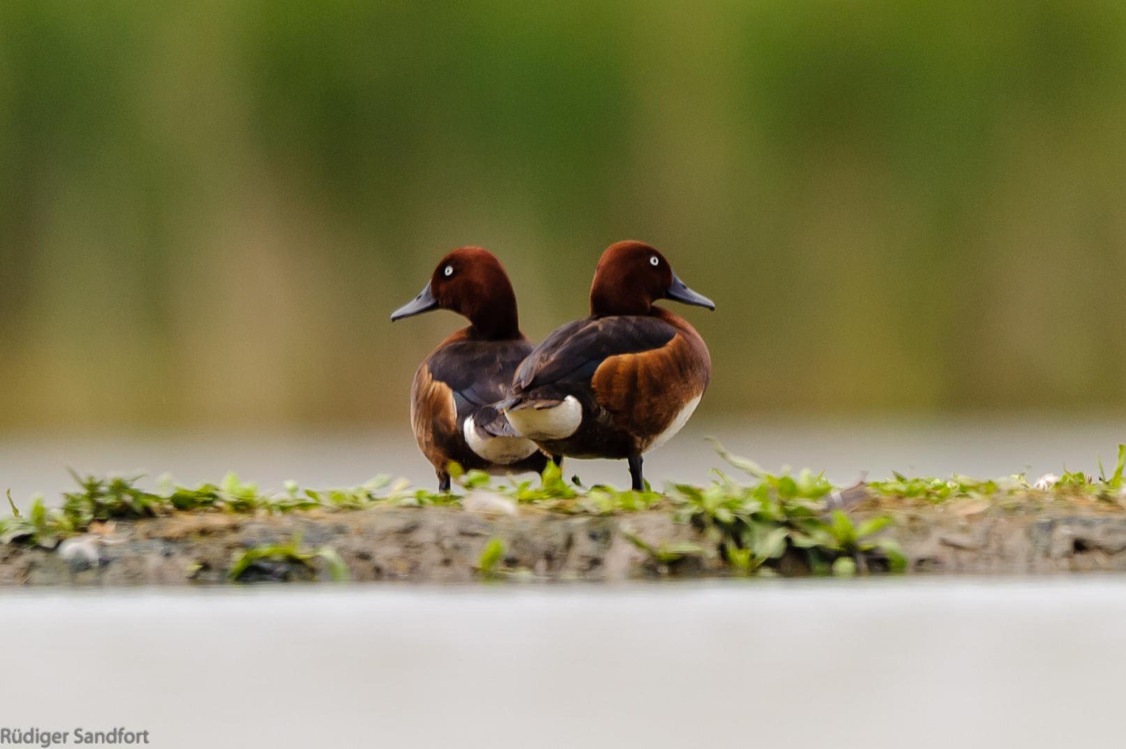 Ferruginous Duck / Moorente