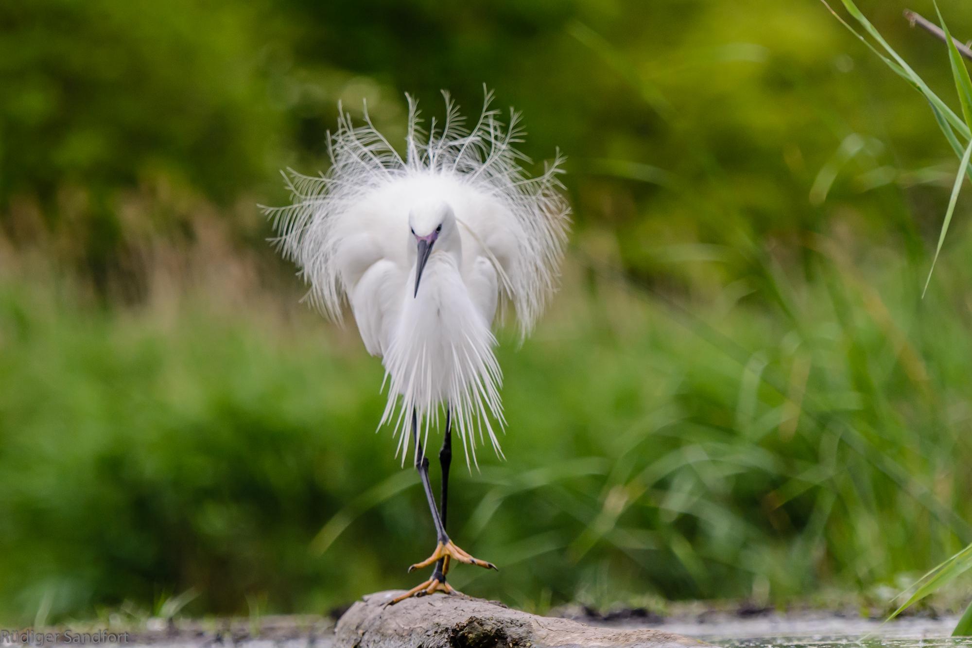 Little Egret / Seidenreiher