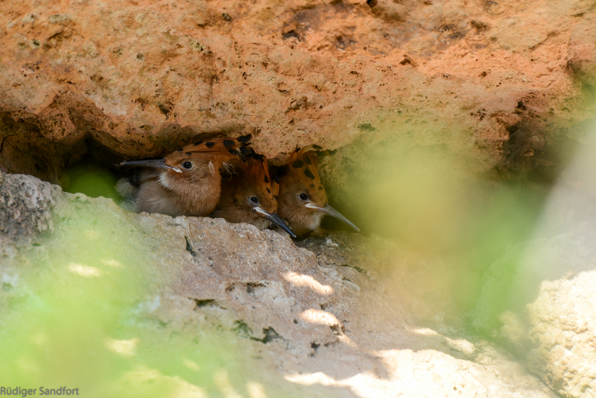 Eurasian Hoopoe /Wiedehopf