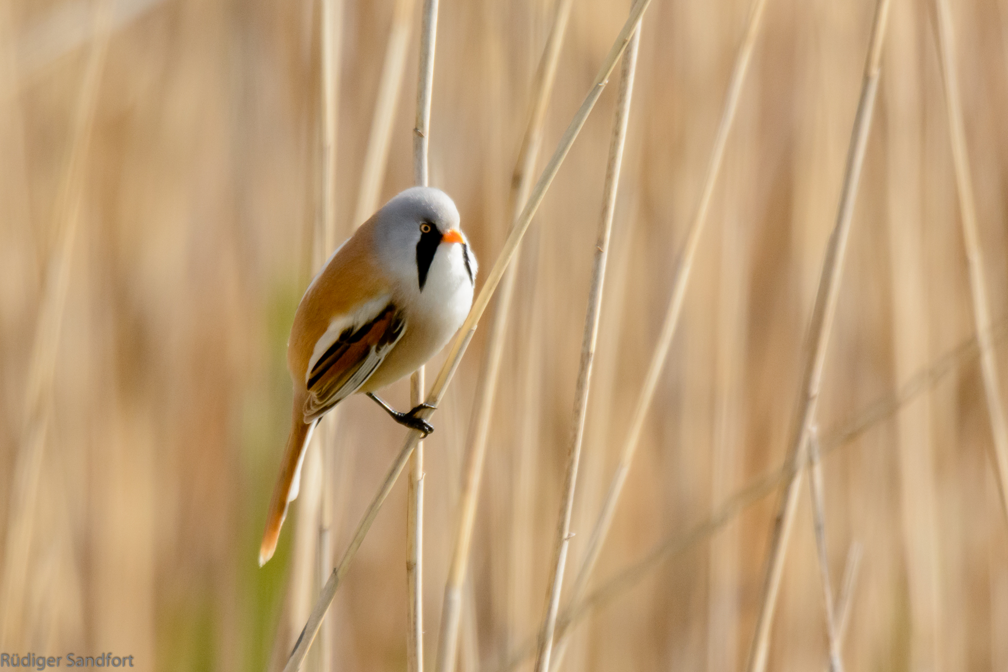 Bearded Reedling / Bartmeise