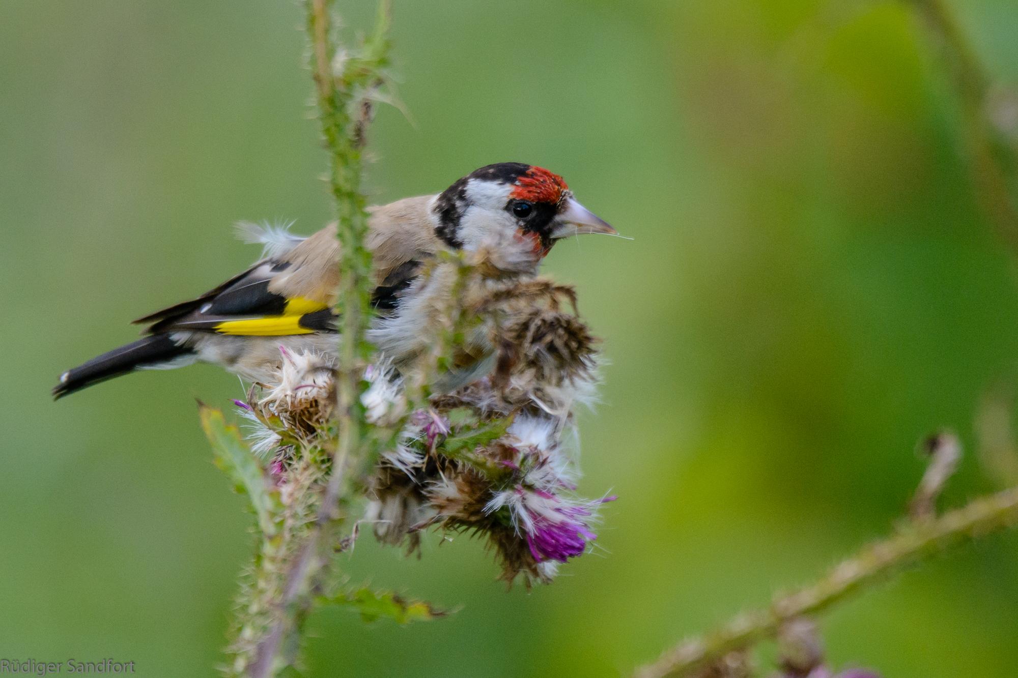 European Goldfinch / Stieglitz
