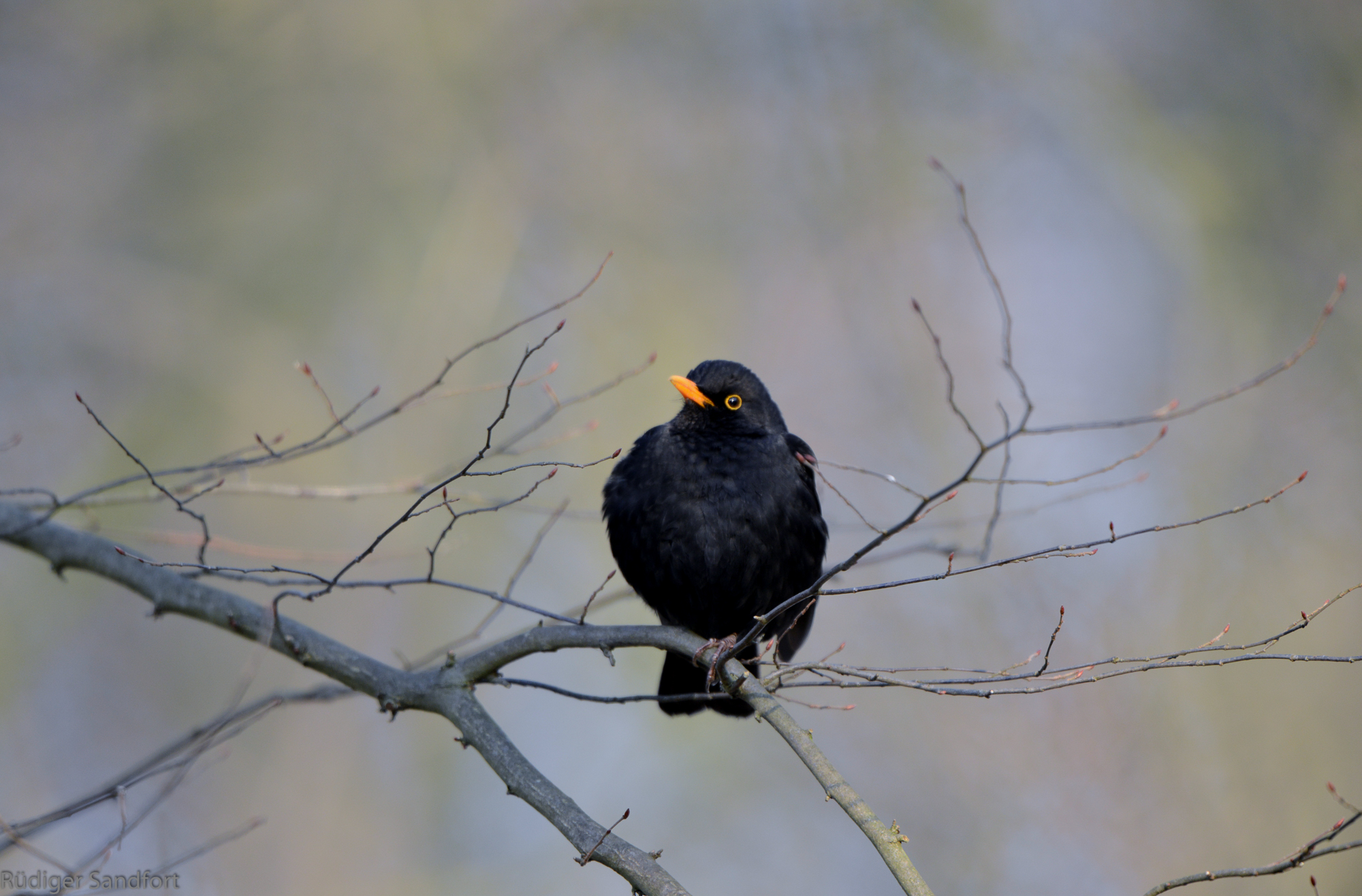 Common Blackbird / Amsel