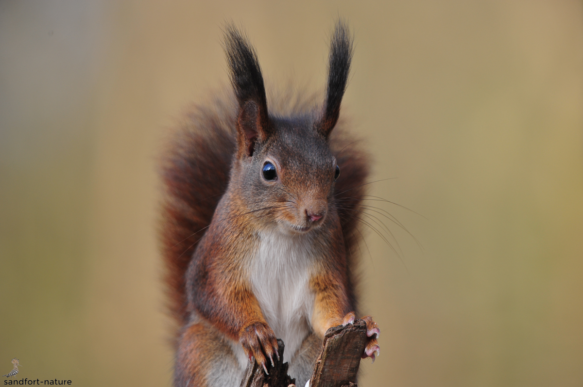 Eichhörnchen Haßleistr._1.jpg