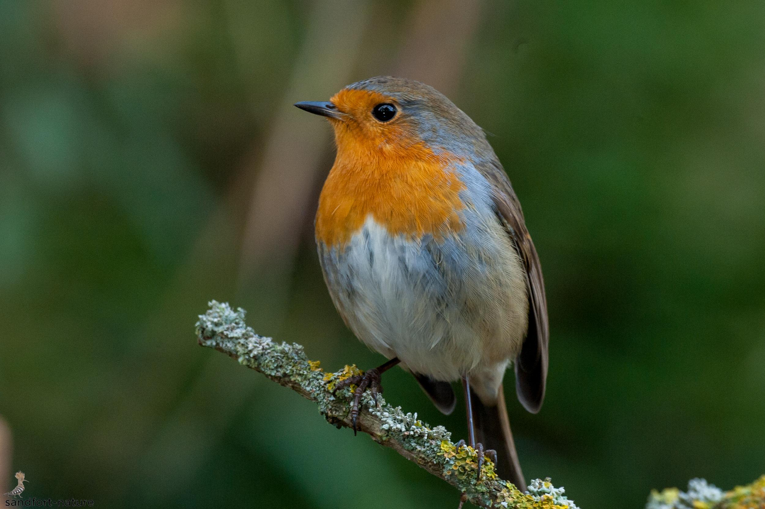 European Robin / Rotkehlchen