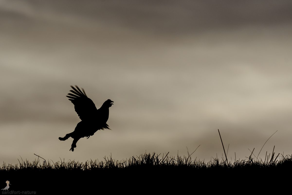 Black grouse / Birkhahn