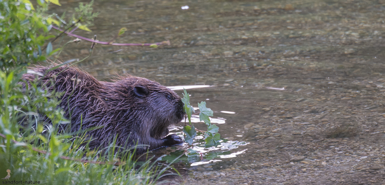 Eurasian beaver / Bieber