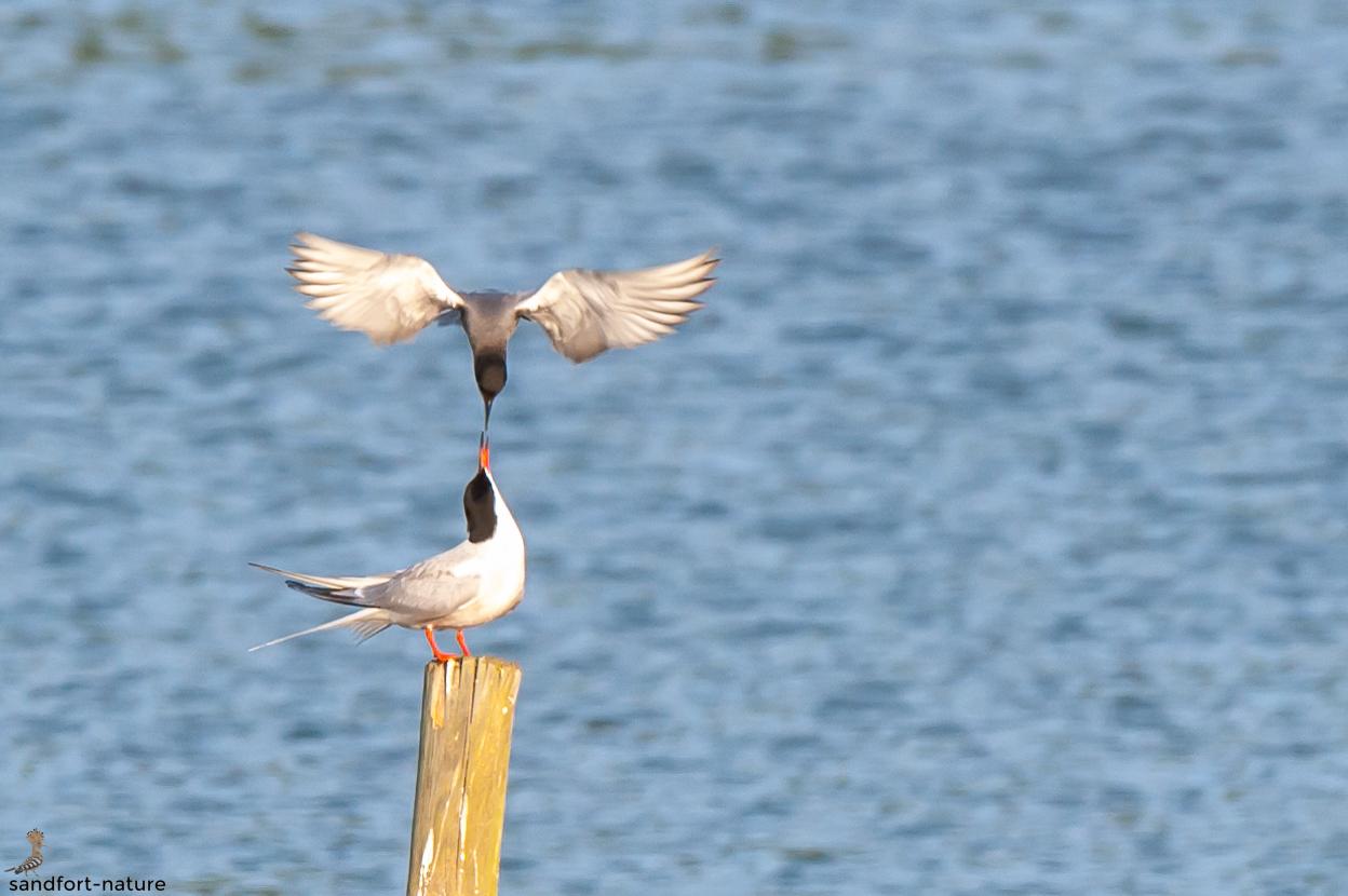 Black tern and Common tern / Trauerseeschwalbe und Flussseeschwalbe