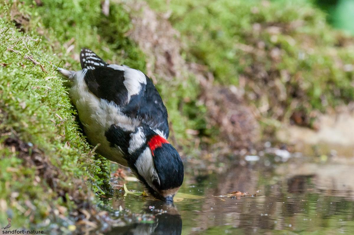 Great Spotted Woodpecker / Buntspecht