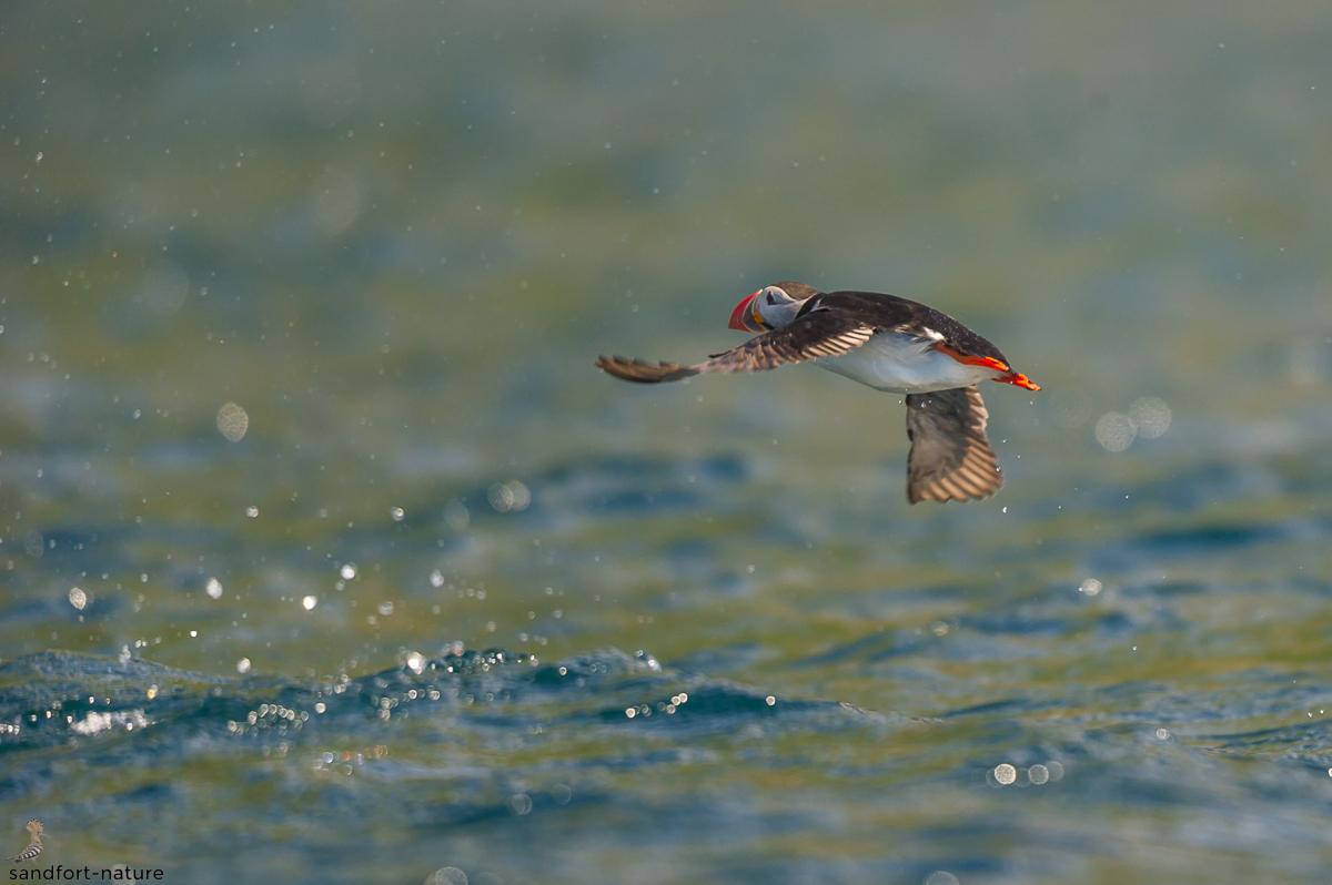 Atlantic Puffin / Papageitaucher