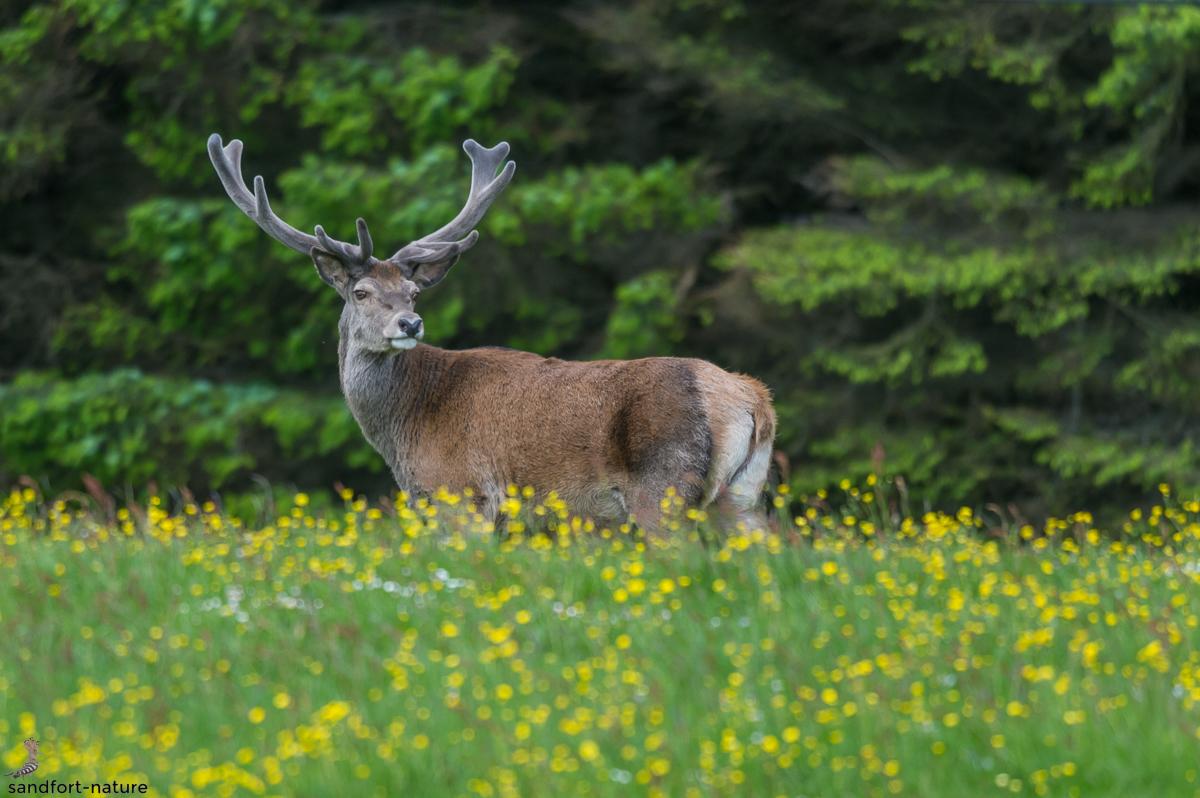 Red deer / Rothirsch