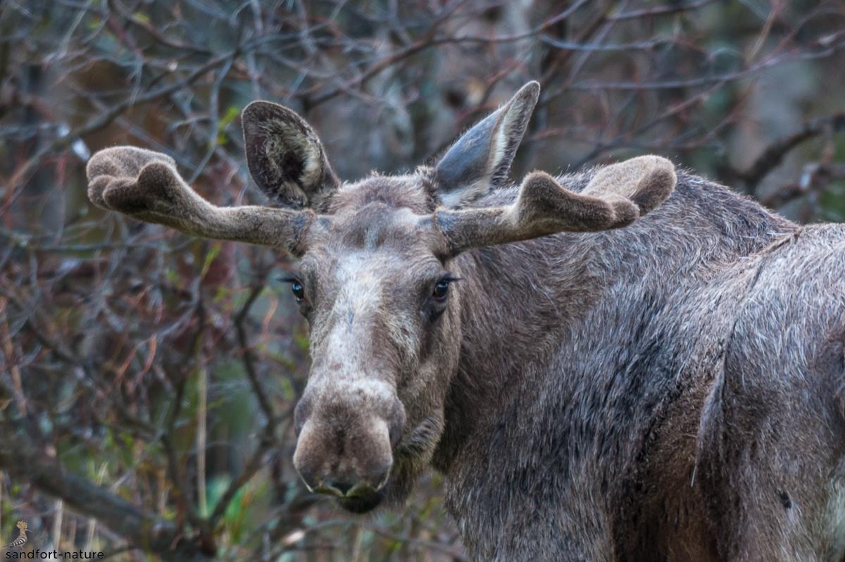 Moose / Elch