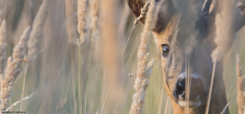 Roe deer - Rehbock