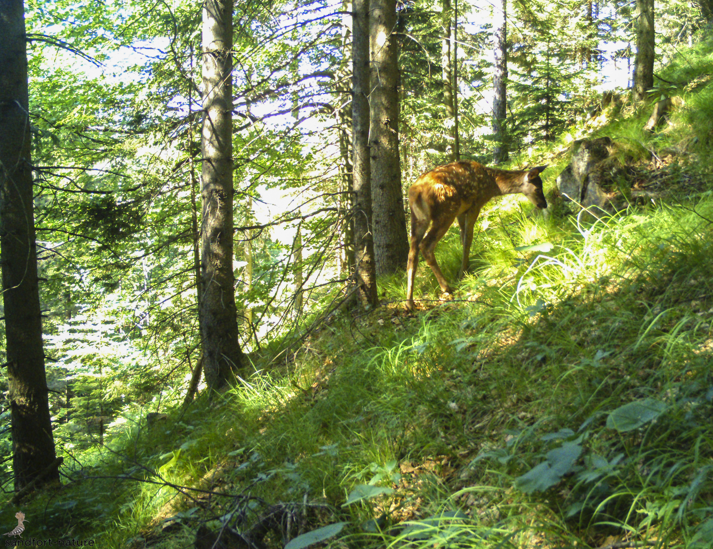 red deer calf - Rotwild Kalb