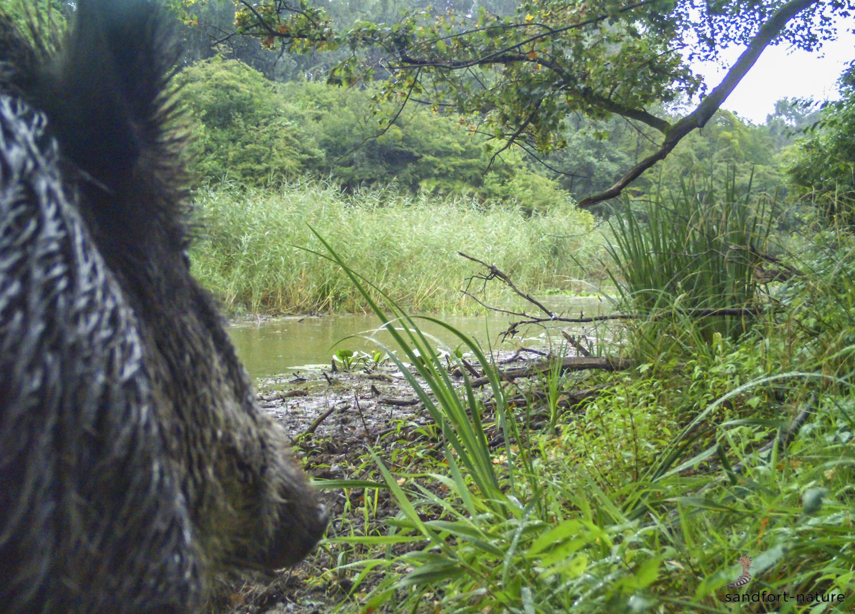 wild boar / Wildschwein
