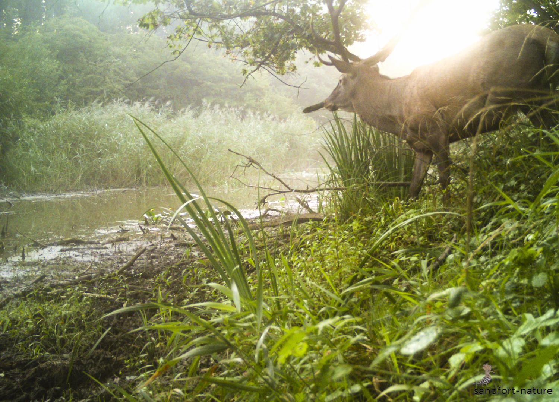 Red deer stag / Rothirsch