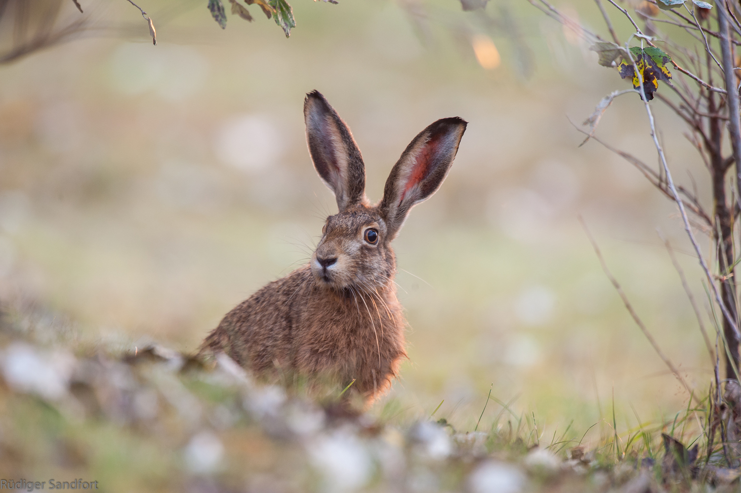 Brown hare / Feldhase