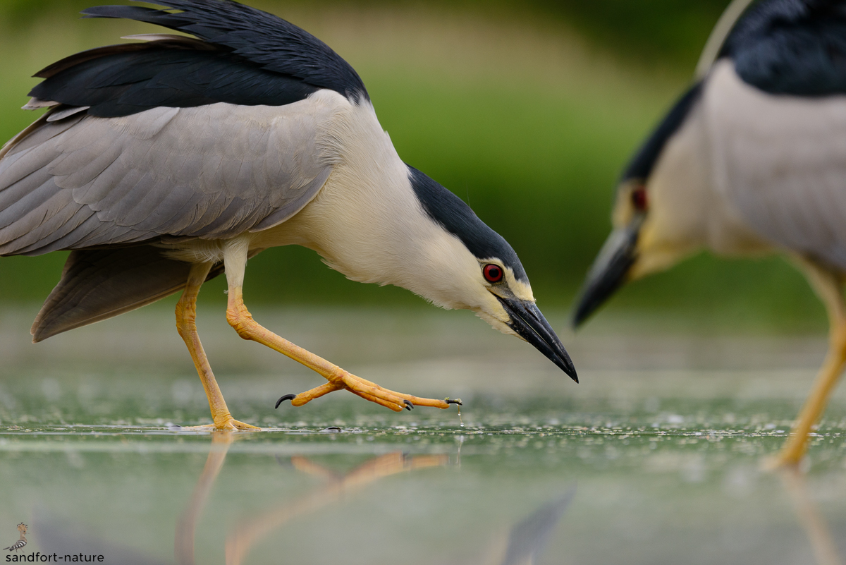 Black-crowned Night Heron / Nachtreiher