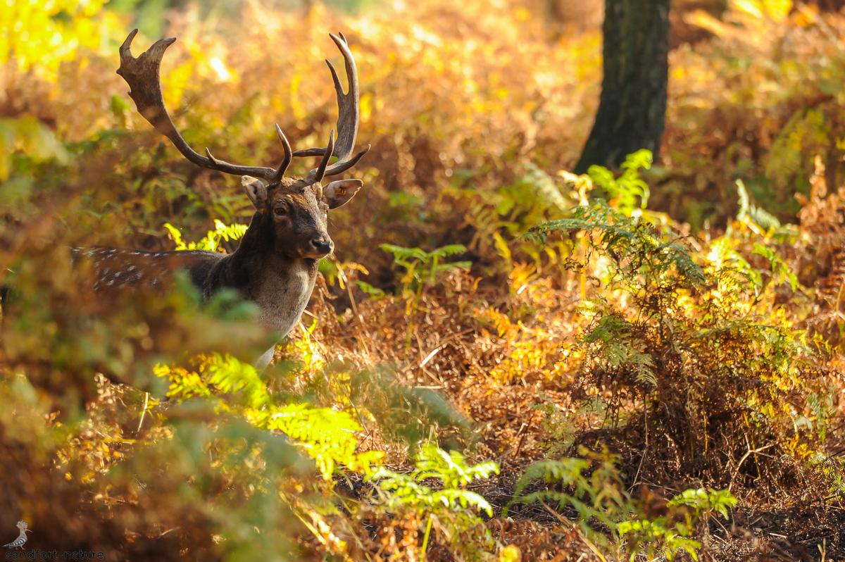 fallow deer | Damhirsch