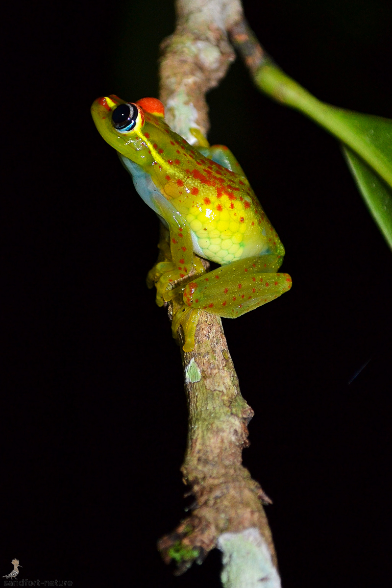 Central Bright-eyed Frog
