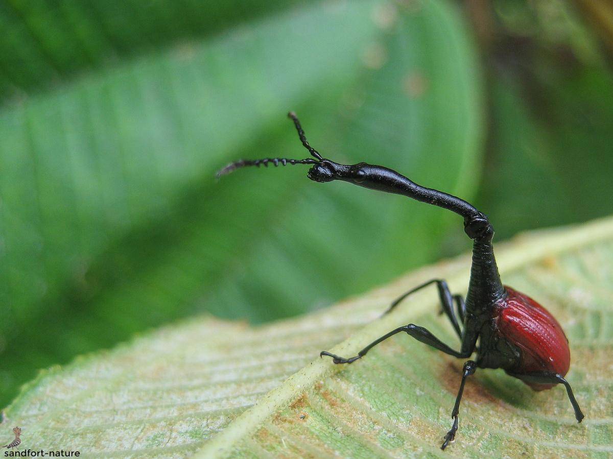 Giraffe weevil (male)