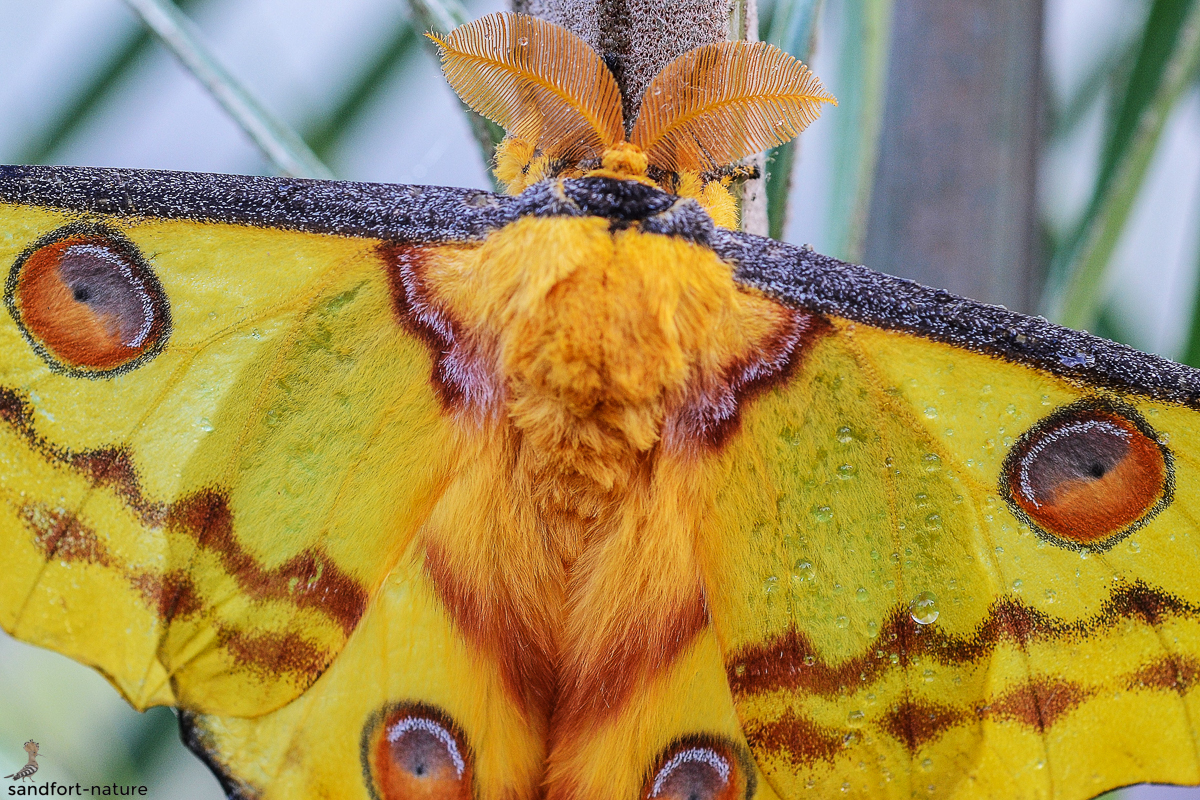 Madagascan moon moth