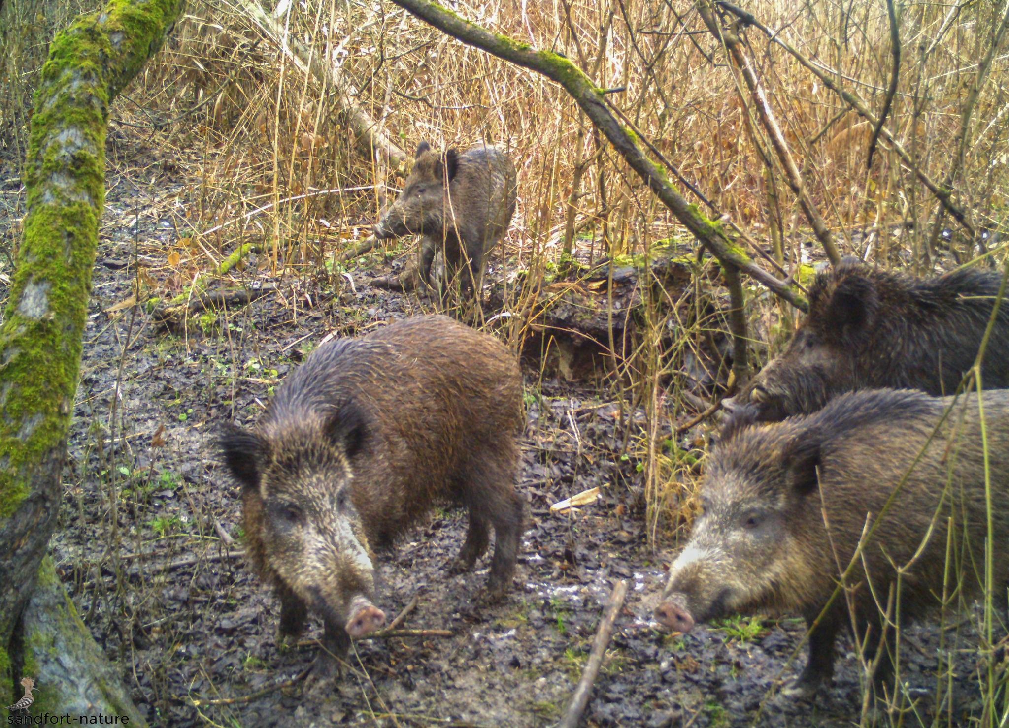 Wild boar | Wildscheine | Austria