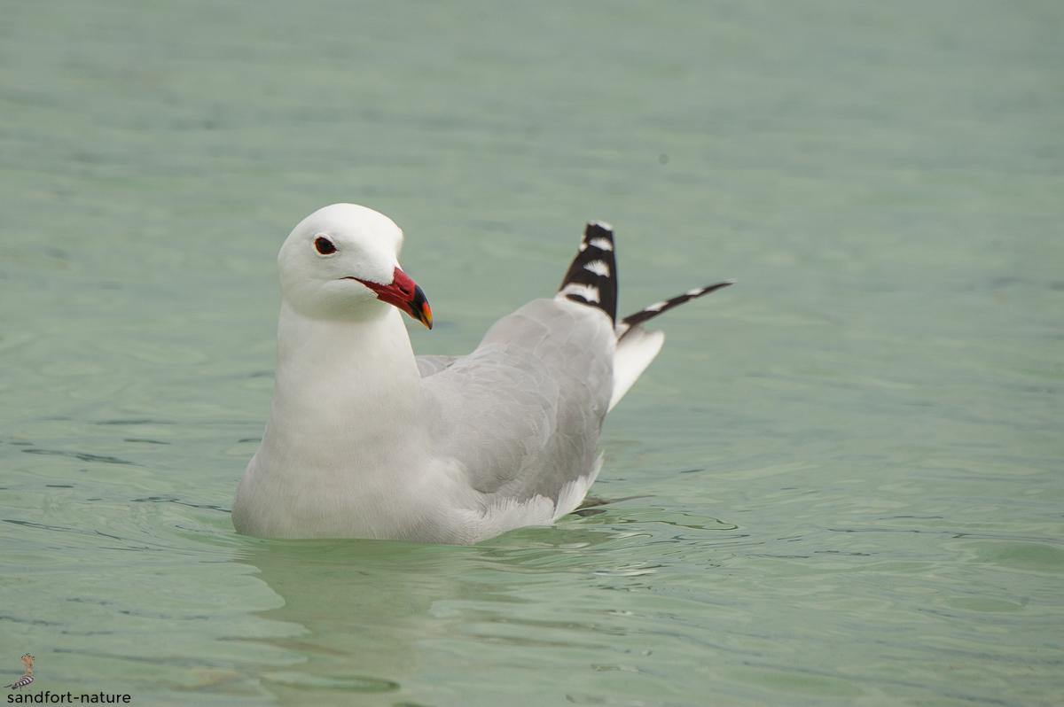 Audouin's gull | Korallenmöwe