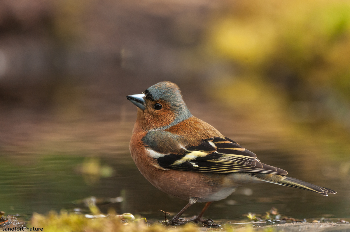 Common chaffinch | Buchfink
