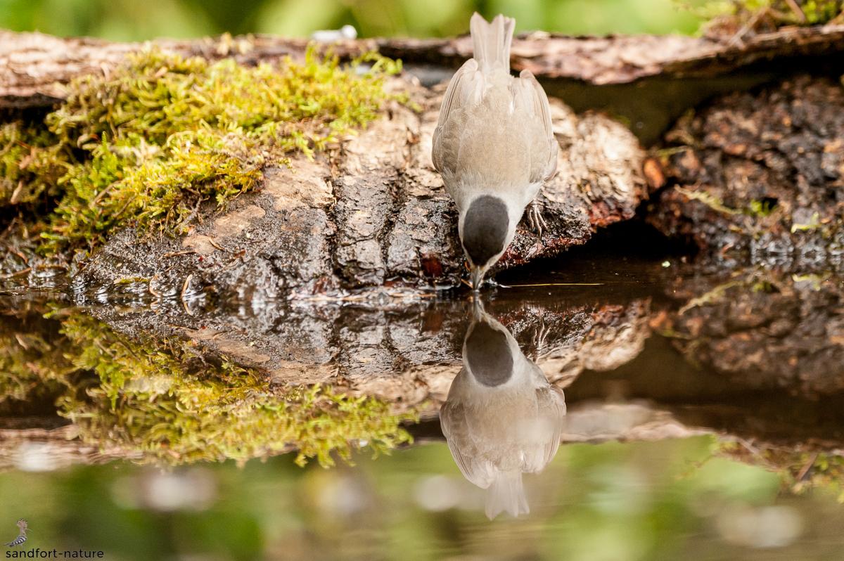 Eurasian blackcap   Mönchsgrassmücke