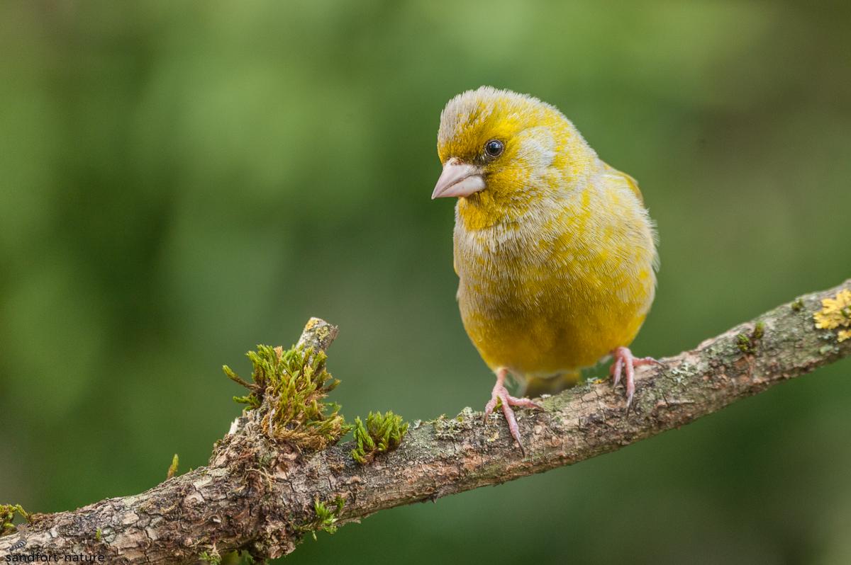 Green finch   Grünfink