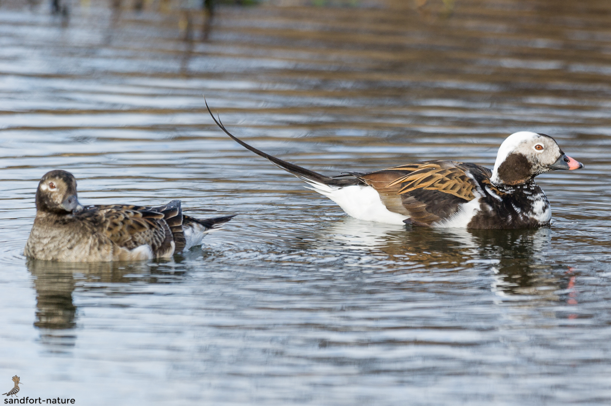 long-tailed duck | Eisente
