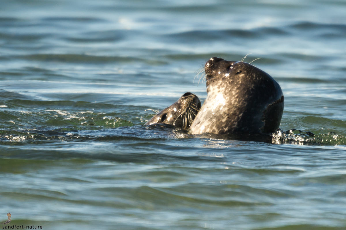 harbour seal love | Robbenliebe
