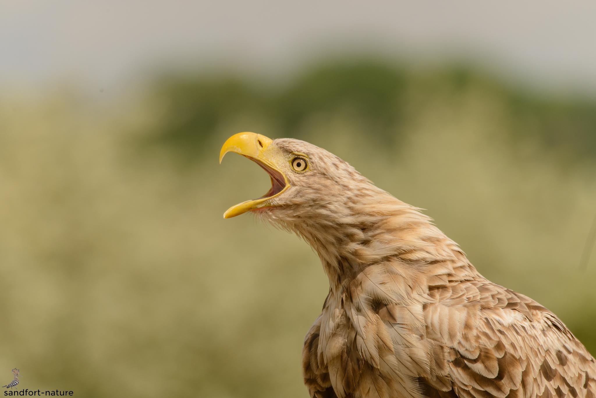 White-tailed eagle | Seeadler