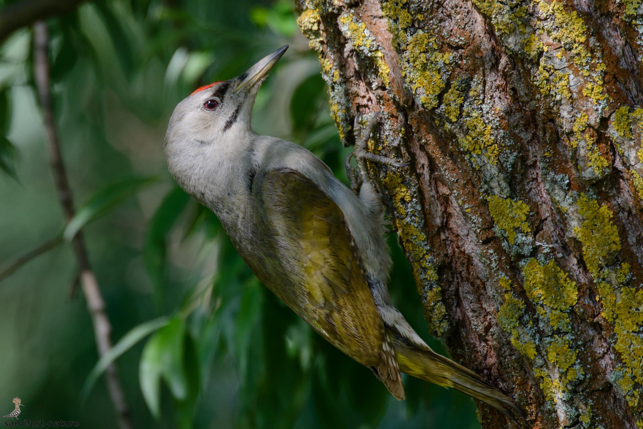 Grey-headed woodpecker | Grauspecht